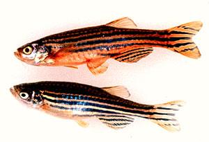 zebravissen en bpa / bps onderzoek